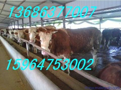 供应肉牛育肥牛架子牛价格
