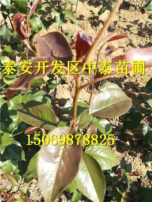 湖北荆门草莓苗育苗基地低价供应