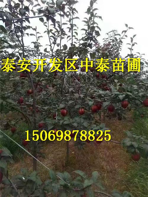 湖北宜昌黑枣苗才卖多少钱品种报价
