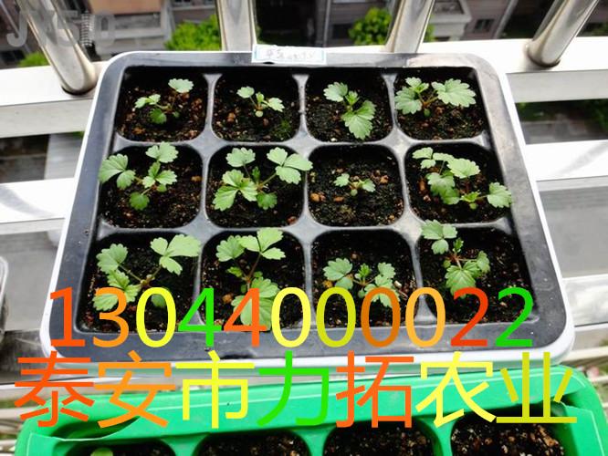 青海省果洛藏族自治州紫香椿苗脱毒