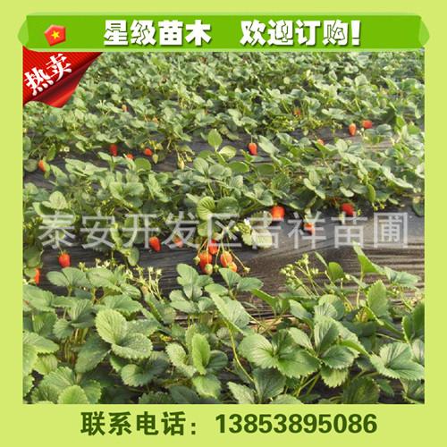 黑龙江红颜品种草莓苗价格