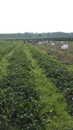 湖北哪里草莓苗品种好