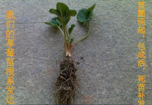 山东草莓苗便宜报价
