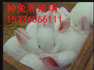 江西鹰潭肉兔种兔纯种野兔价格