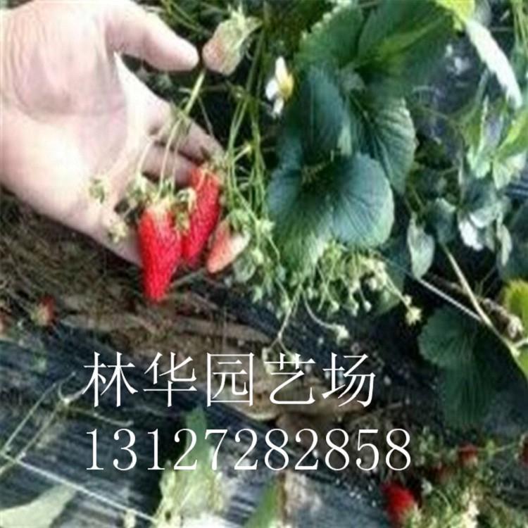 四川黄盖花椒苗什么时间种植好