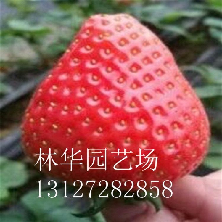 福建省草莓苗哪里有