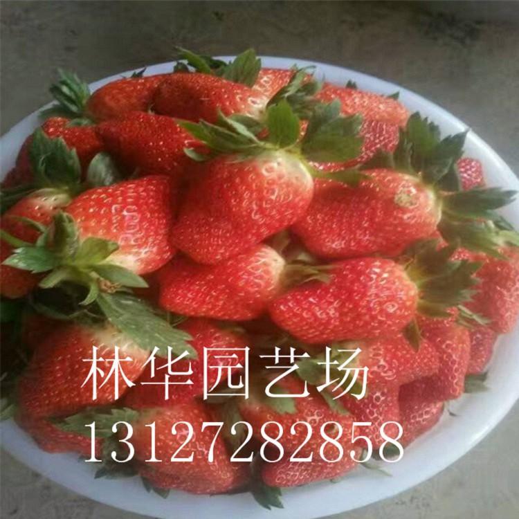 平凉市小白草莓苗种植