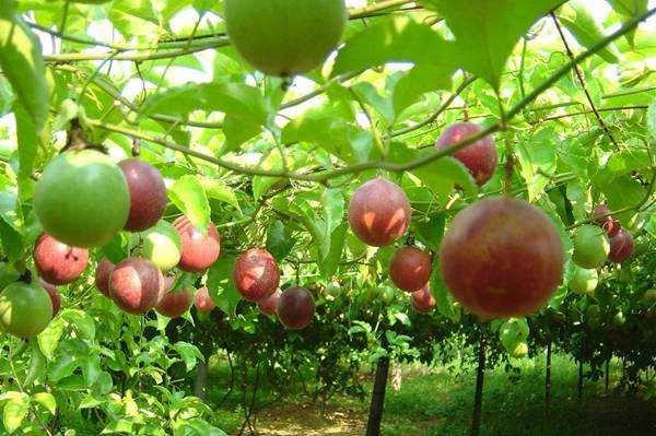 广西百香果种植基地-来宾百香果供应商