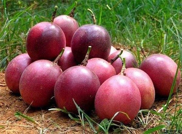 在哪有优惠的百香果供应 广西百香果种植