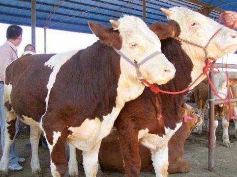 吉林省天源牧业河南省肉牛繁育基地