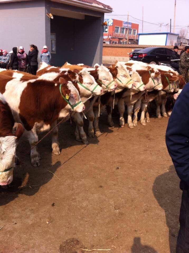 吉林省天源牧业河南省肉牛养殖基地