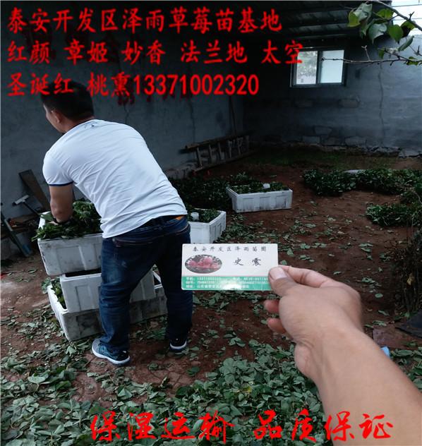 甘肃缇普蓝蓝莓苗种植要领