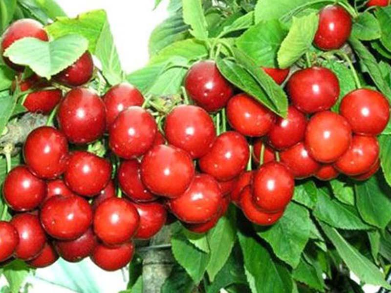 大樱桃苗哪里有卖的、车厘子苗批发