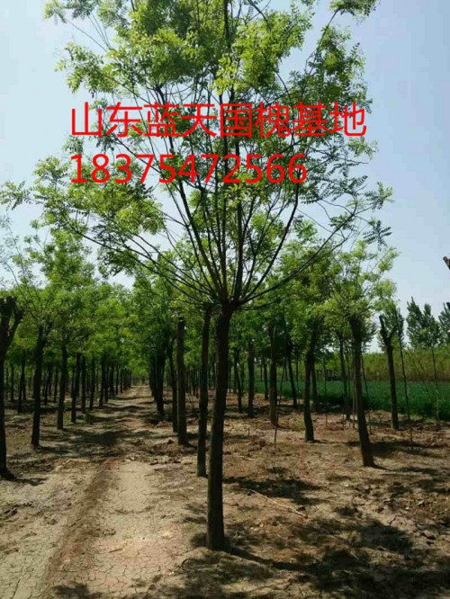 金华市磐安6公分法桐种植技术
