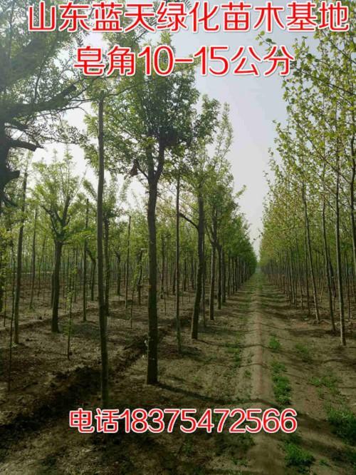 台州市三门5公分速生法桐三年冒价格