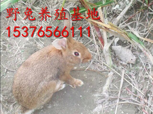 喀喇沁旗万翔种兔养殖场杂交野兔种公兔现在的