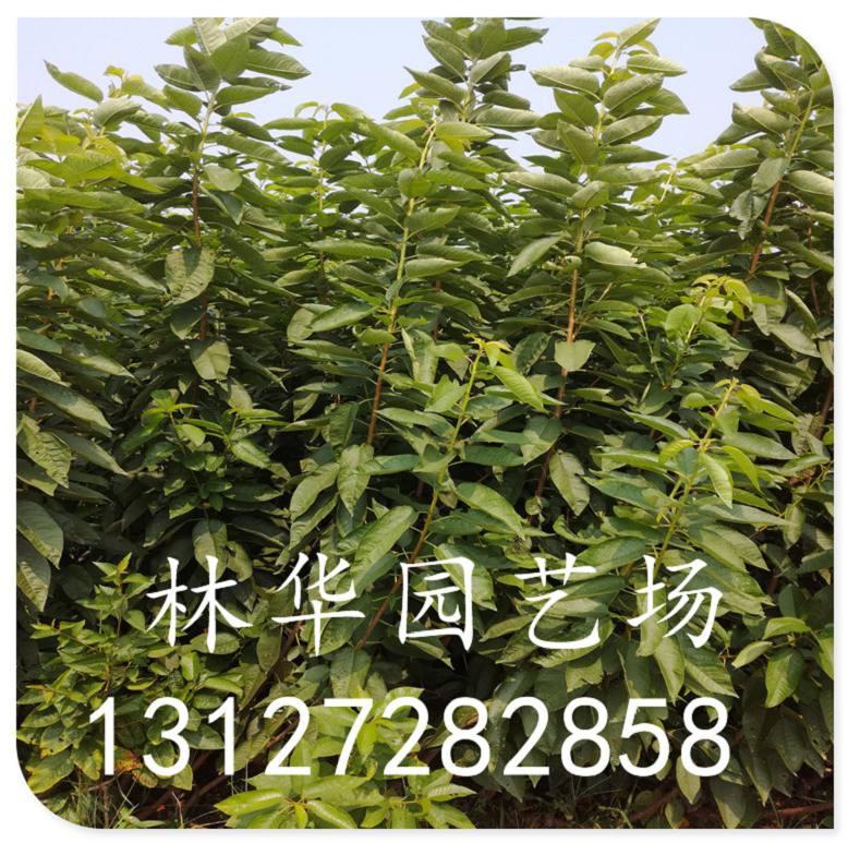 浙江省拉宾斯樱桃苗多少钱