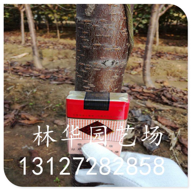 吉林省两公分樱桃树盆栽可以吗