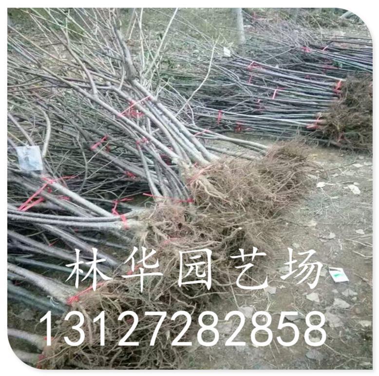 福建省樱桃苗种植技术