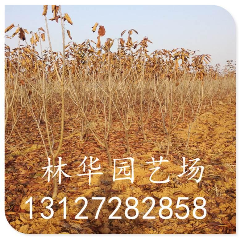江西省三公分樱桃树樱桃种子哪有