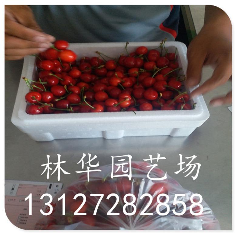 福建省两年樱桃苗什么品种好
