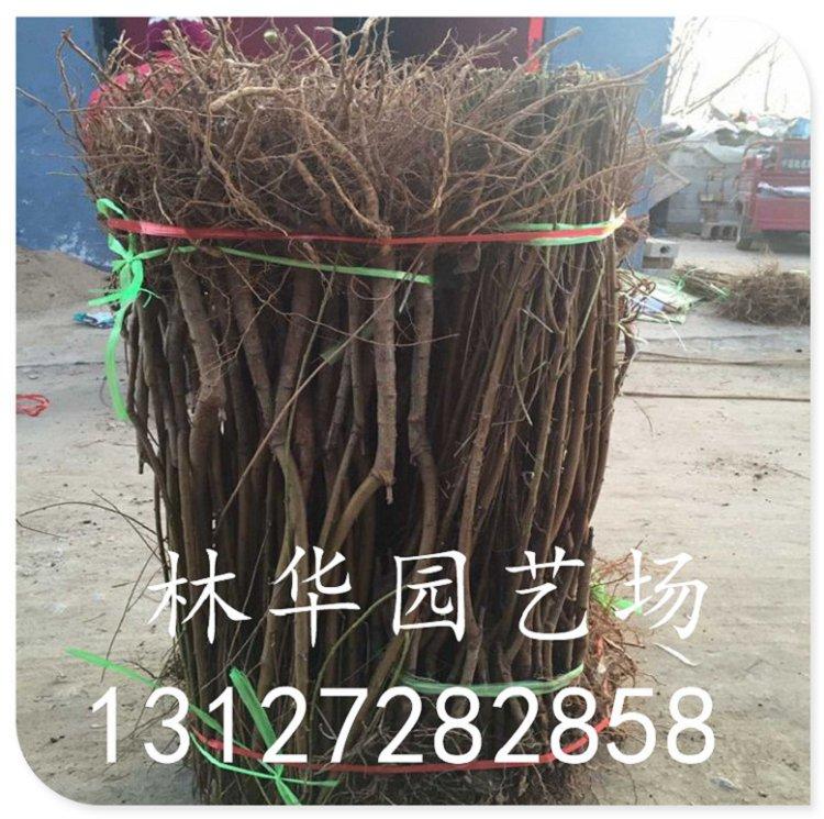 内蒙古自治区中油20桃苗晚熟品种