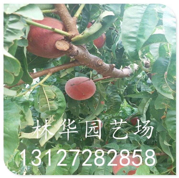 非洲黑妹桃苗什么时候开花结果盆栽可以吗13127282858