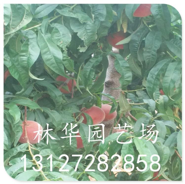 黄金蟠桃苗早熟品种价格多少13127282858
