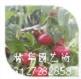 中油金铭桃苗多少钱一棵盆栽可以吗13127282858