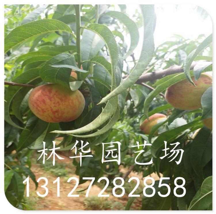 山西大红袍桃苗产量
