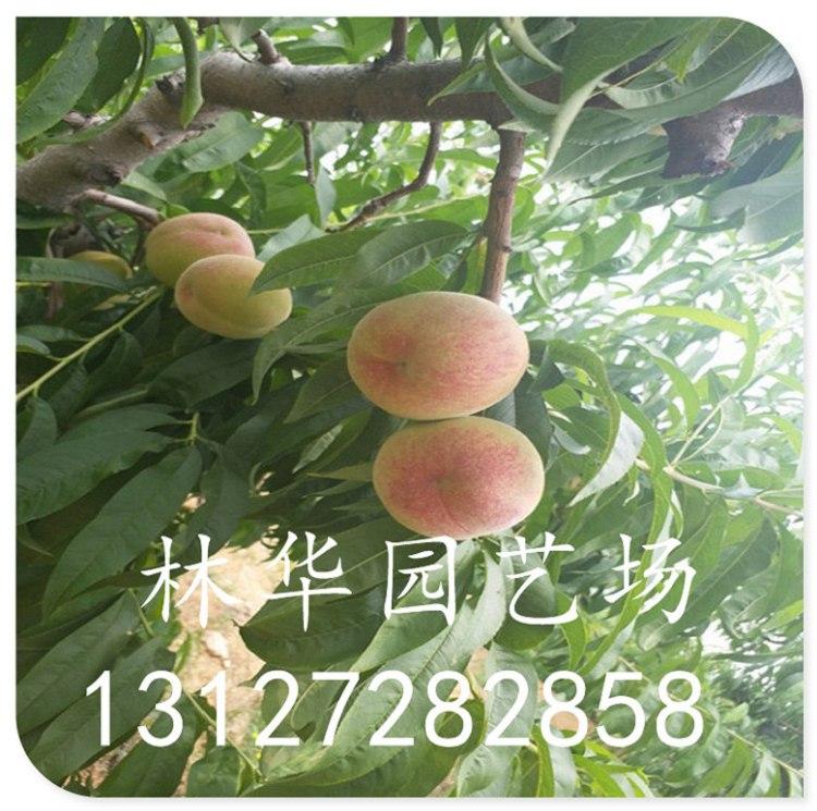 福星樱桃苗云南种植可以吗13127282858