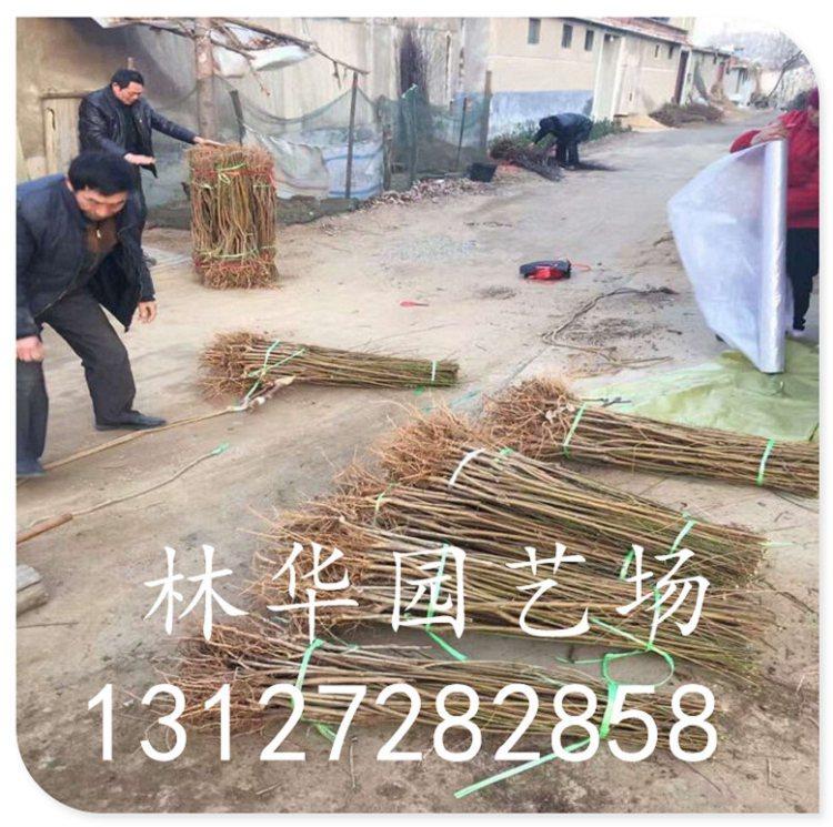 北京超级珍品桃苗什么时候修剪