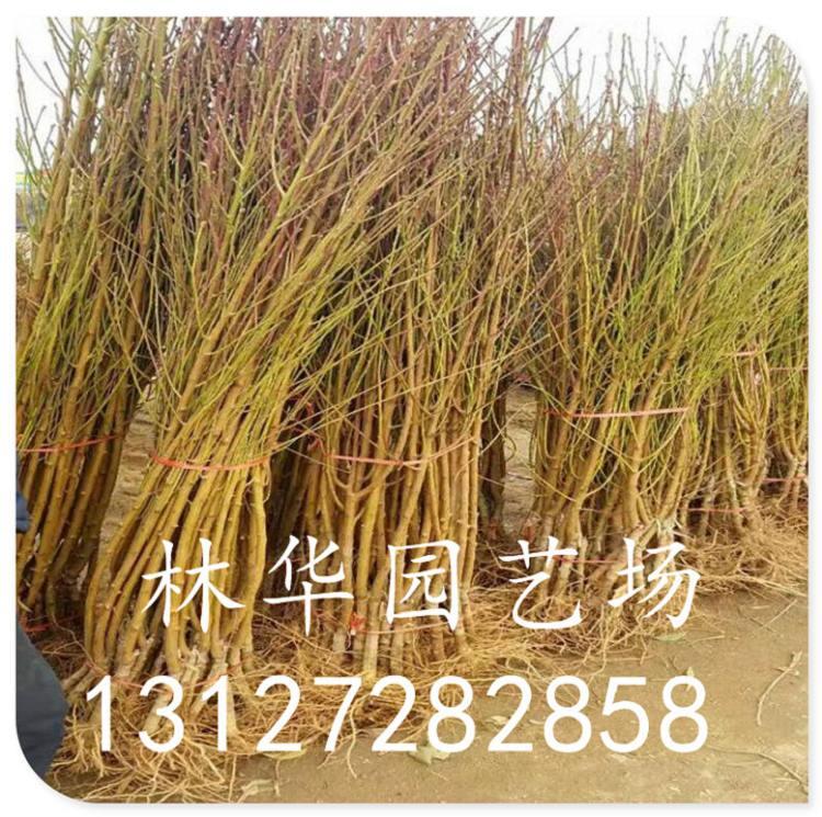 黄菊油桃苗什么时候施肥盆栽可以吗13127282858