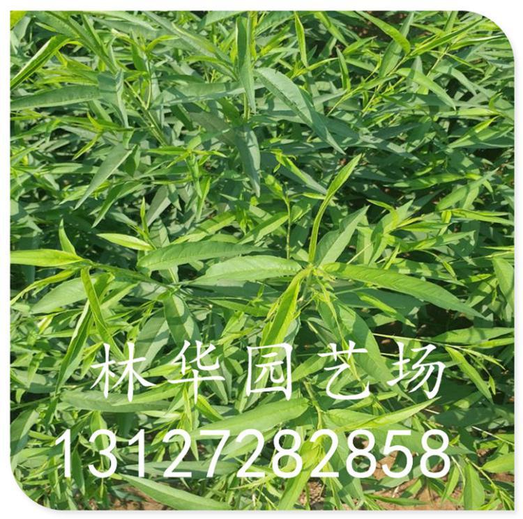 山西黄桃苗早熟品种