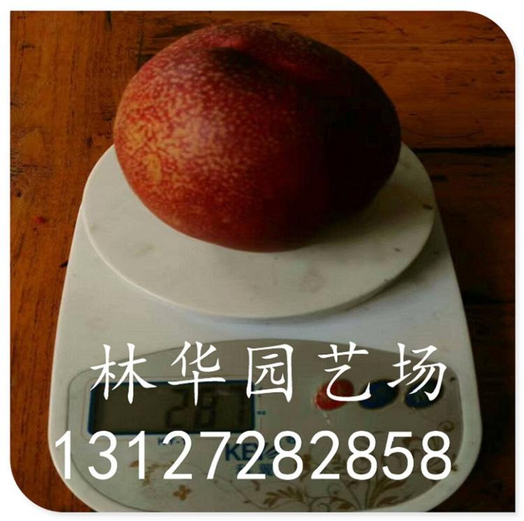 黄金蟠桃苗一棵结果多少早熟品种13127282858