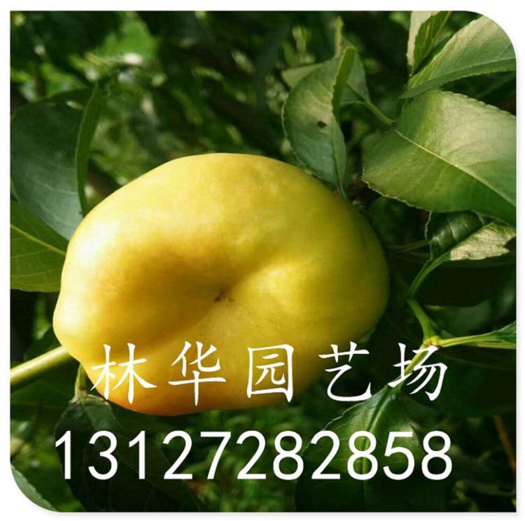 黄桃苗果实多少钱一斤盆栽可以吗13127282858