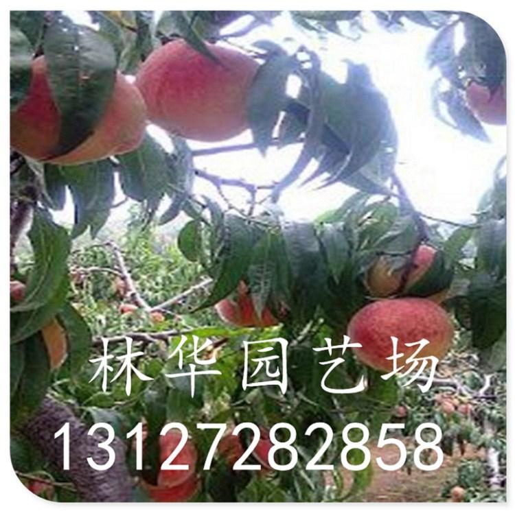 河北中蟠17桃苗果实多少钱一斤