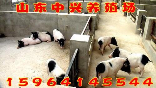 湖州市目前巴马香猪什么价格小香猪多少钱一头