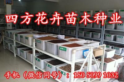 茄子种子公司一种子价格品质保证