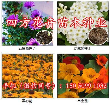 小叶女贞种子1斤价格一多少钱