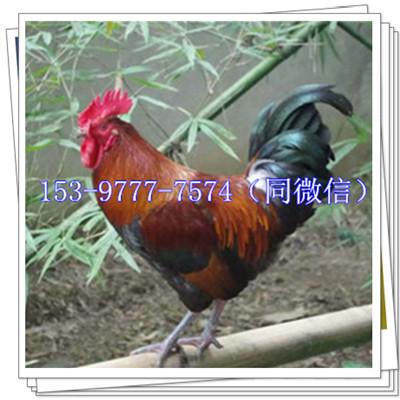 七里河鸡苗供应商麦麸