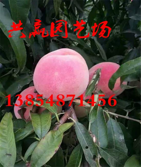 广东揭阳那里还有卖核桃树苗多少钱一棵苗