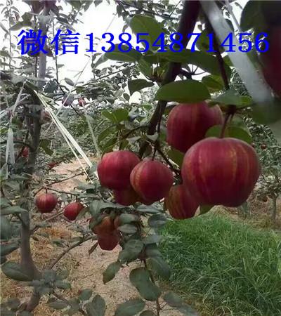 山东附近有红梨树苗育苗基地卖多少钱