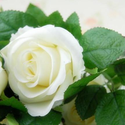 山东玫瑰种植基地 -坦尼克
