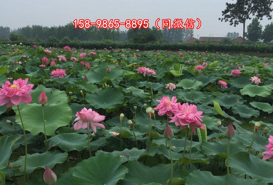黑龙江大兴安岭地区莲藕种植简单吗