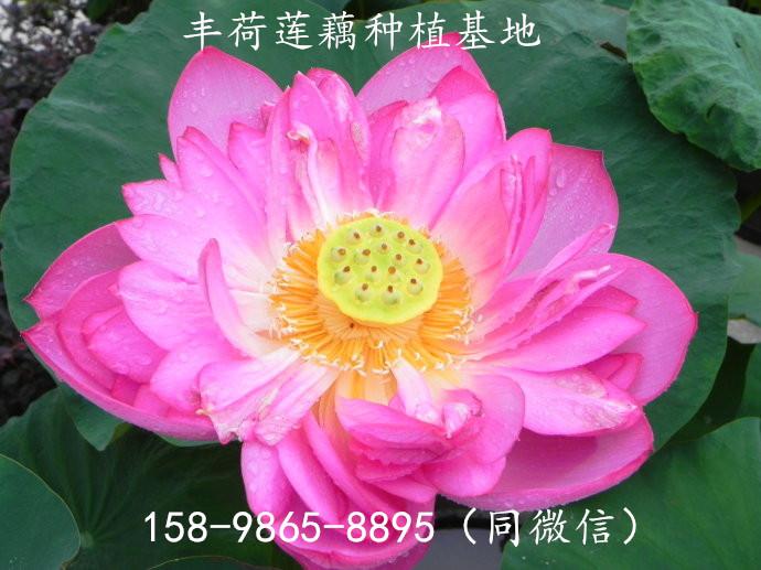 优乐国际娱乐登录长治市鱼塘可以种植莲藕