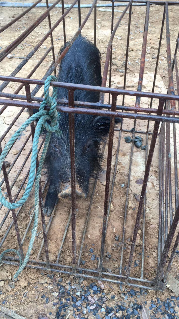 福建福州市哪里有藏香猪养殖基地