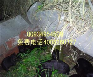 上海白豚彩豚荷兰猪高价求购
