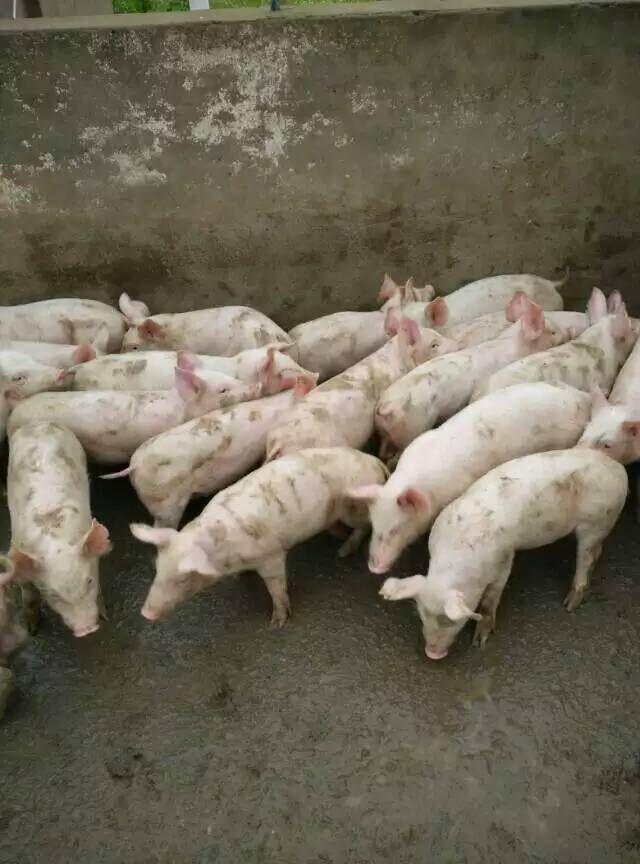 杭州今日猪价行情-杭州今日猪价行情