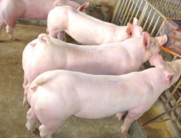 万源今日猪价-万源今日猪价行情